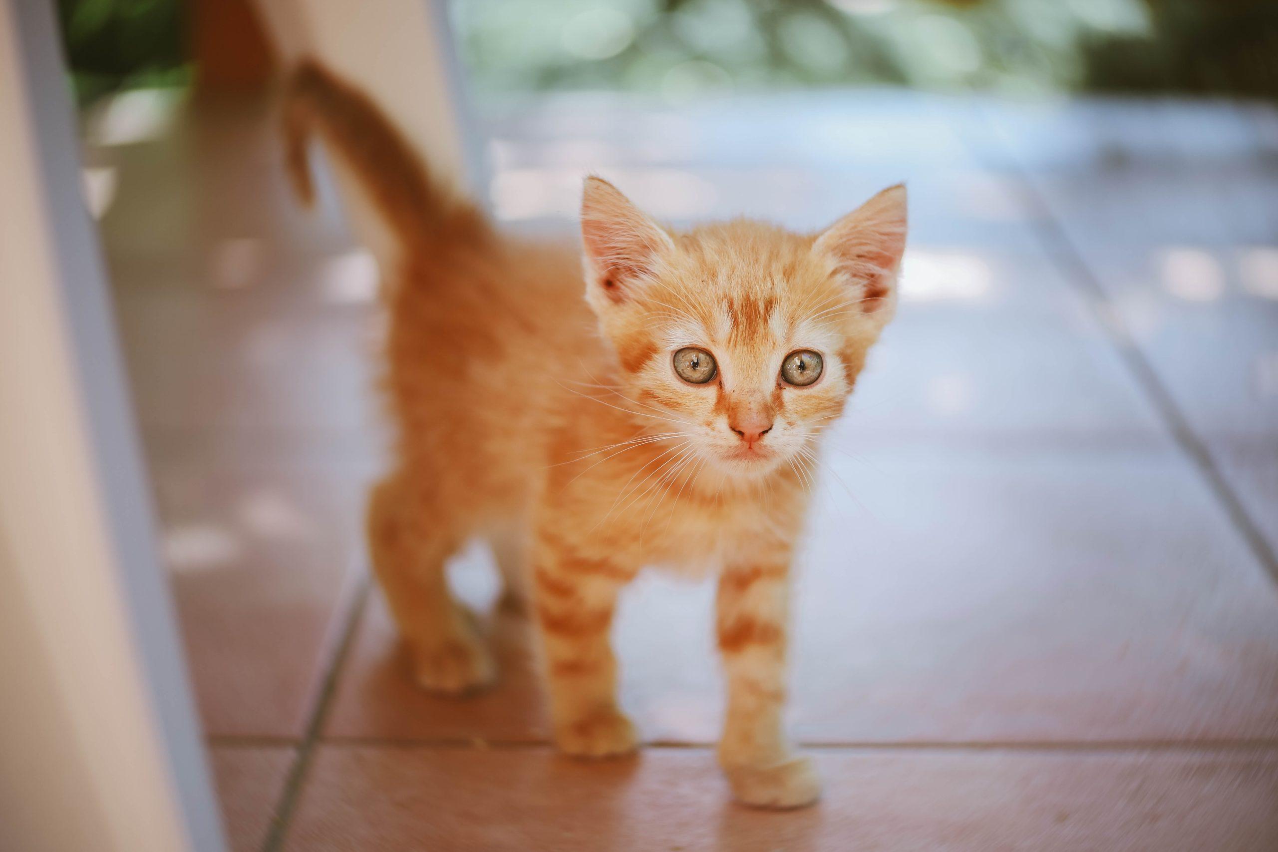AnimEd Solution - chaton roux - Conseils vétérinaires