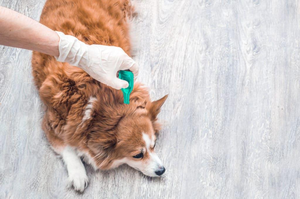 Traitement parasites chiens - AnimEd Solutions